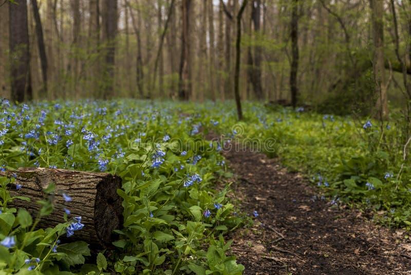 Pista de senderismo y Virginia Bluebell Wildflowers - Ohio foto de archivo