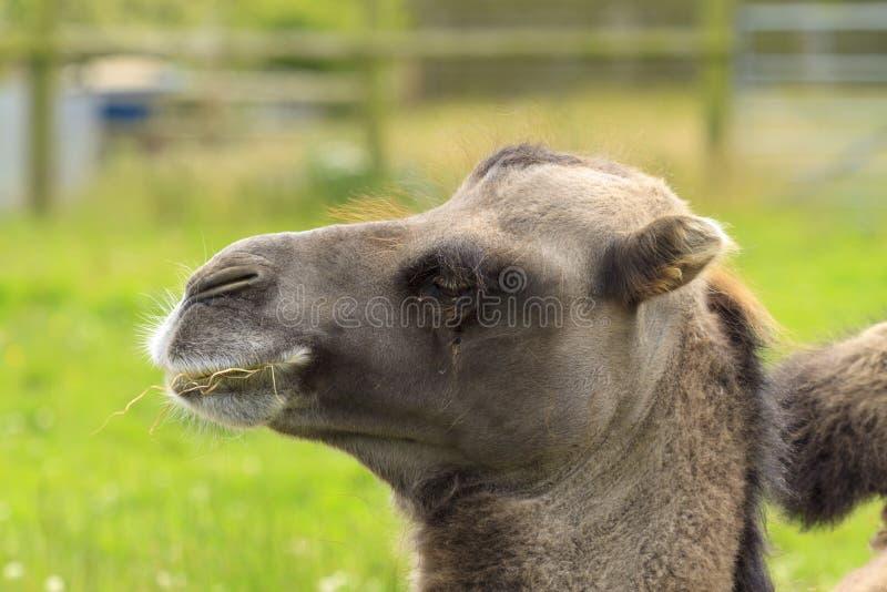 Pista del camello bactriano imagen de archivo