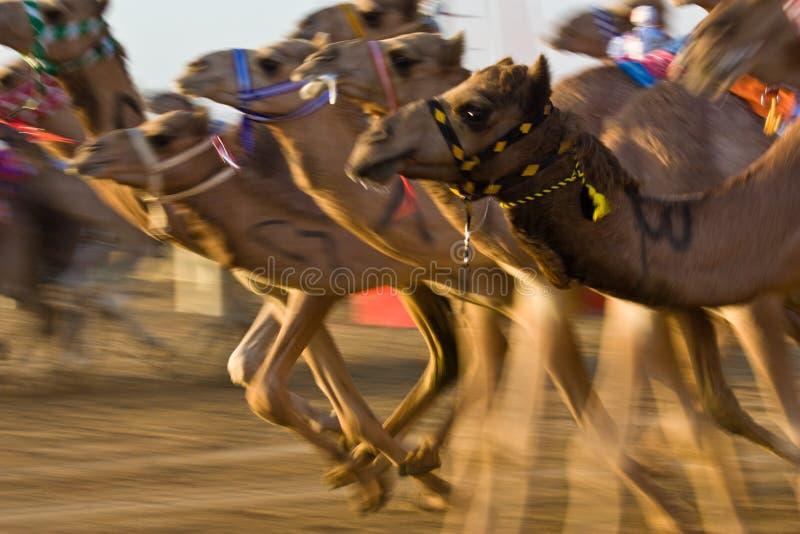 Pista del cammello di Marmoum di Al, Dubai fotografia stock