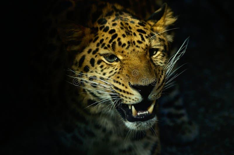 Pista del leopardo imagenes de archivo