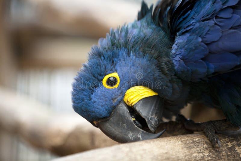 Pista del Macaw del jacinto fotos de archivo libres de regalías