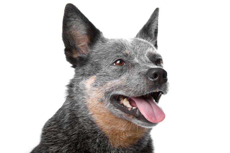 Pista del perro australiano del ganado fotografía de archivo libre de regalías