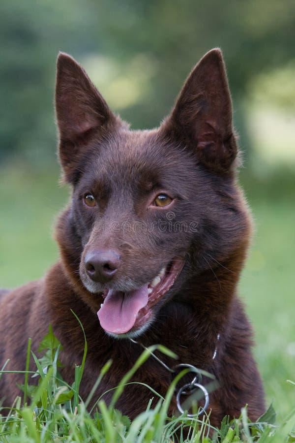 Pista del perro marrón - kelpie imagen de archivo libre de regalías