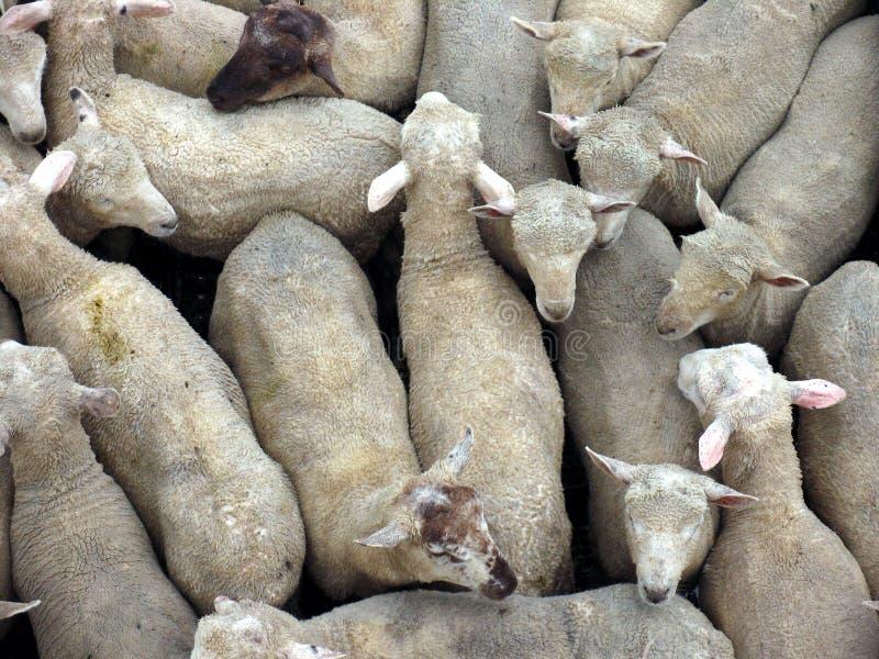 Pista delle pecore immagine stock libera da diritti