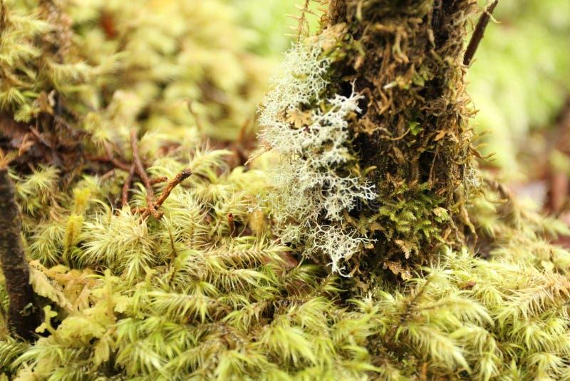 Pista di camminata della foresta pluviale in isola del sud, Nuova Zelanda fotografie stock