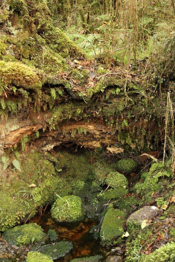 Pista di camminata della foresta pluviale in isola del sud, Nuova Zelanda fotografia stock