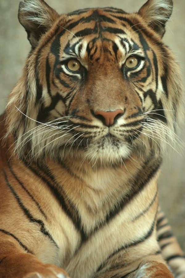 Pista en el retrato de un tigre de Sumatran imagenes de archivo