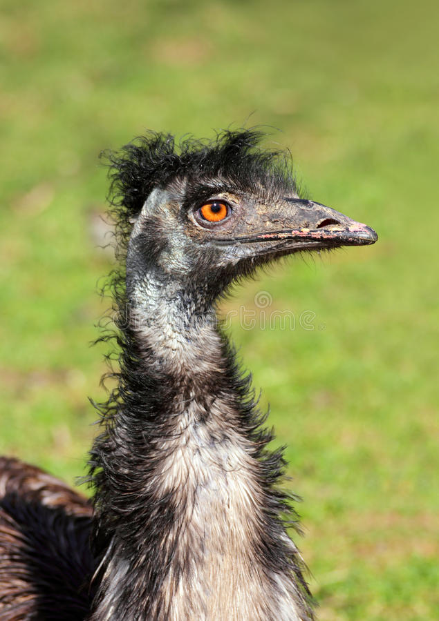 Pista extraña del pájaro de la avestruz foto de archivo