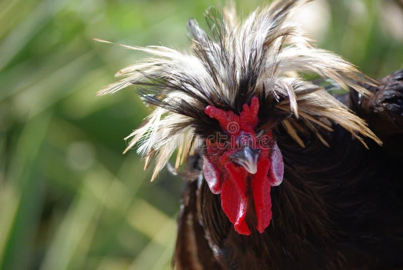 Pista oscura de la gallina imagen de archivo libre de regalías