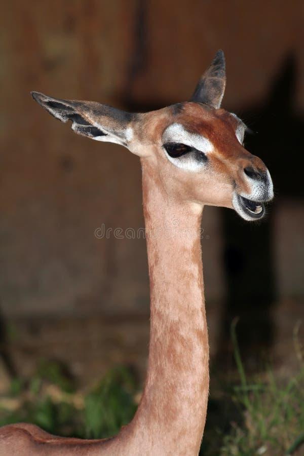 Pista y cuello de Gerenuk imagen de archivo libre de regalías