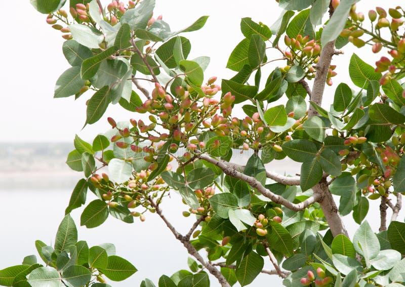 Pistacheboom royalty-vrije stock afbeeldingen