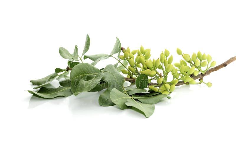 Pistaches vertes sur une branche photos stock
