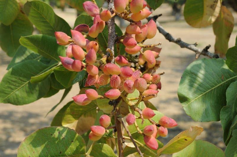 pistachio fotografia de stock