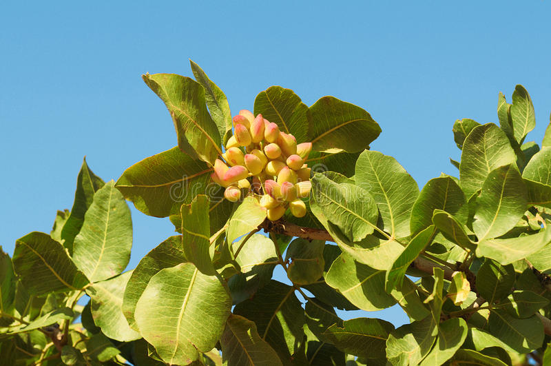 A Pistachio Tree. Leaves and fruits of pistachio on branch royalty free stock photos