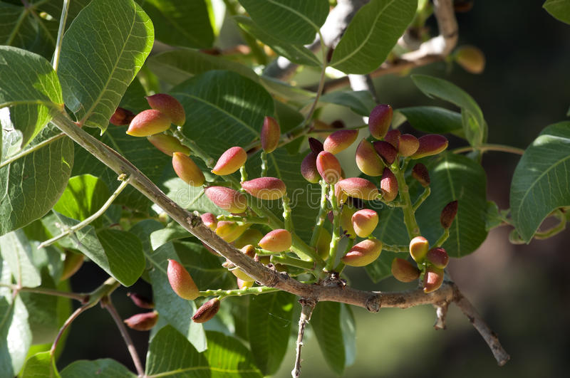 Pistachio tree. S in Aegina island full of pistachio nuts royalty free stock images