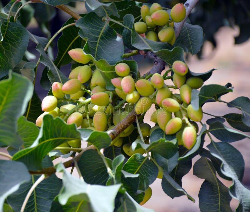 Pistacjowy drzewo zdjęcie royalty free