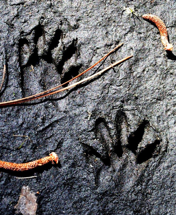 Pistas animales en el fango imágenes de archivo libres de regalías