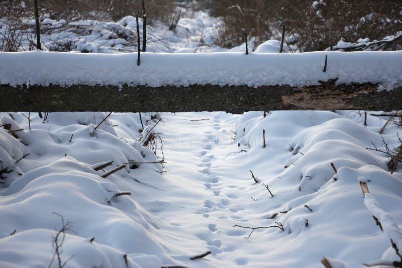 Pistas animales en la nieve, debajo del árbol caido imagen de archivo