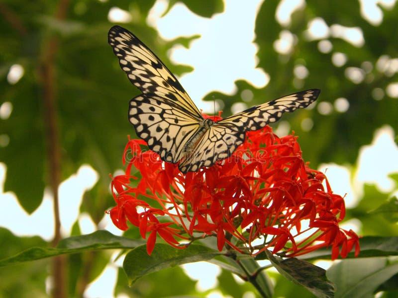 Pistas de la mariposa en la flor imagen de archivo libre de regalías