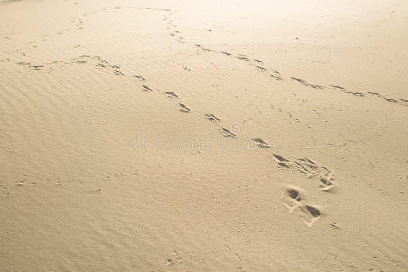 Pistas frescas de animales y de pájaros en la arena pura imagen de archivo libre de regalías