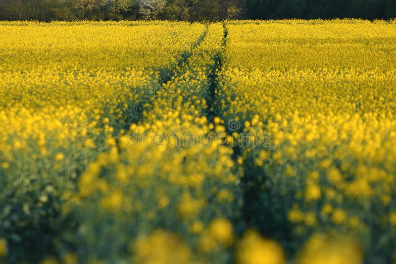 Pistas que llevan a través de campo amarillo de la rabina del Canola con el foco selectivo con primero plano borroso imagenes de archivo