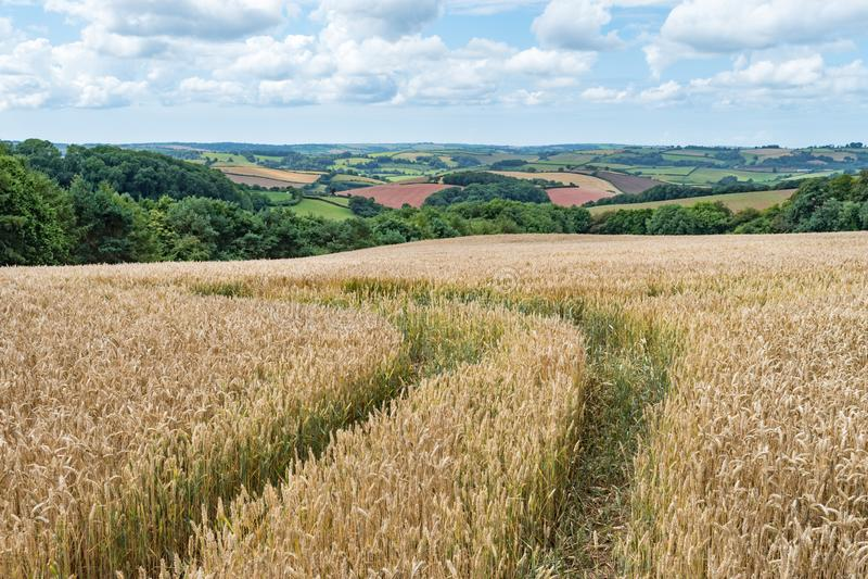 Piste che colano attraverso un campo di grano dorato con le viste attraverso i campi colourful nella campagna di Devonshire immagine stock libera da diritti