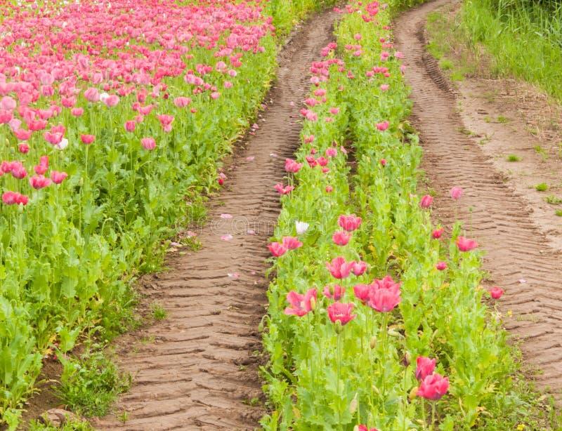 Piste della gomma del trattore in un campo variopinto dei fiori fotografia stock