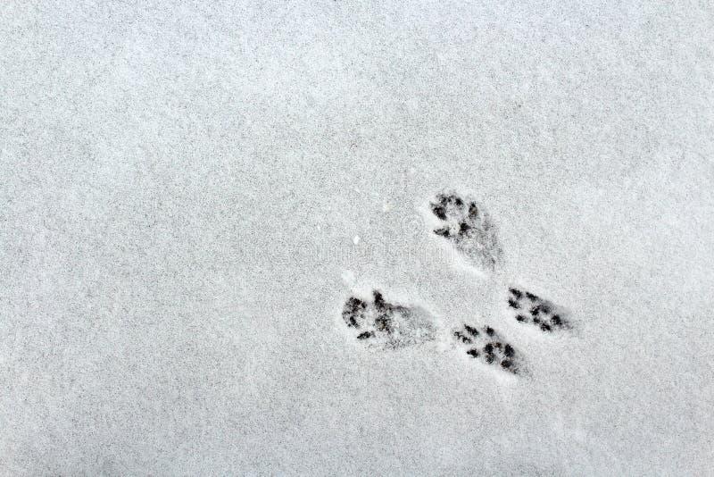 Piste dello scoiattolo nella neve immagini stock