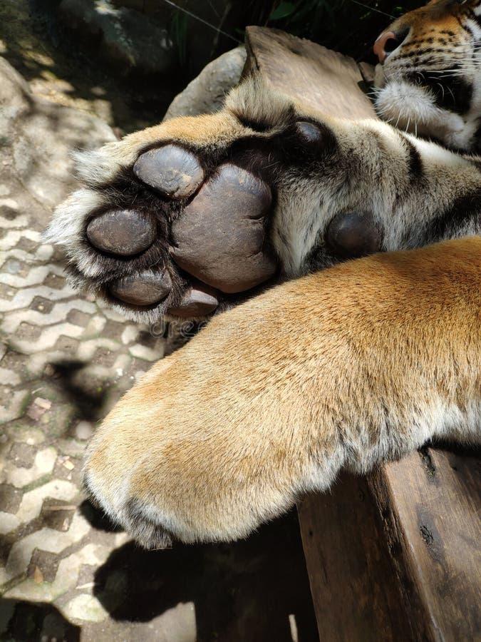 Pistes géantes de tigres du Bengale images stock