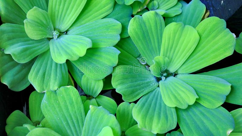 Pistia stratiotes, is often called water cabbage, water lettuce stock photography