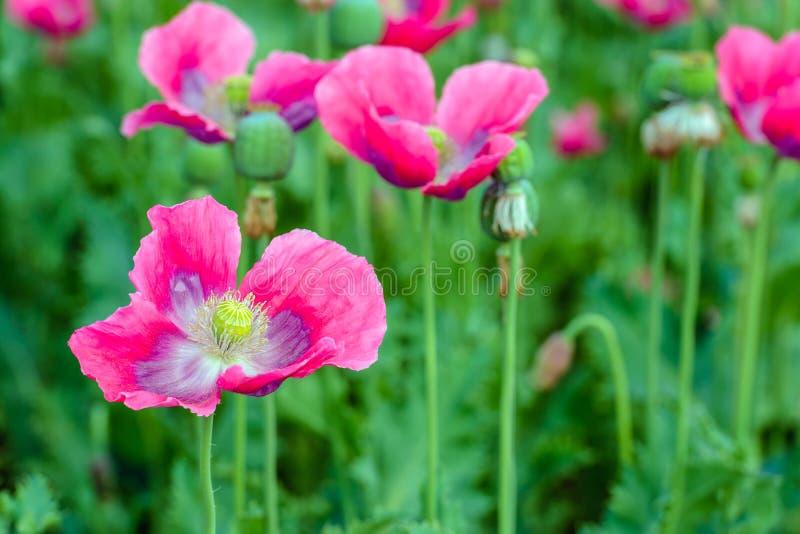 Pistil и тычинка розовых цветя маков от конца стоковое фото
