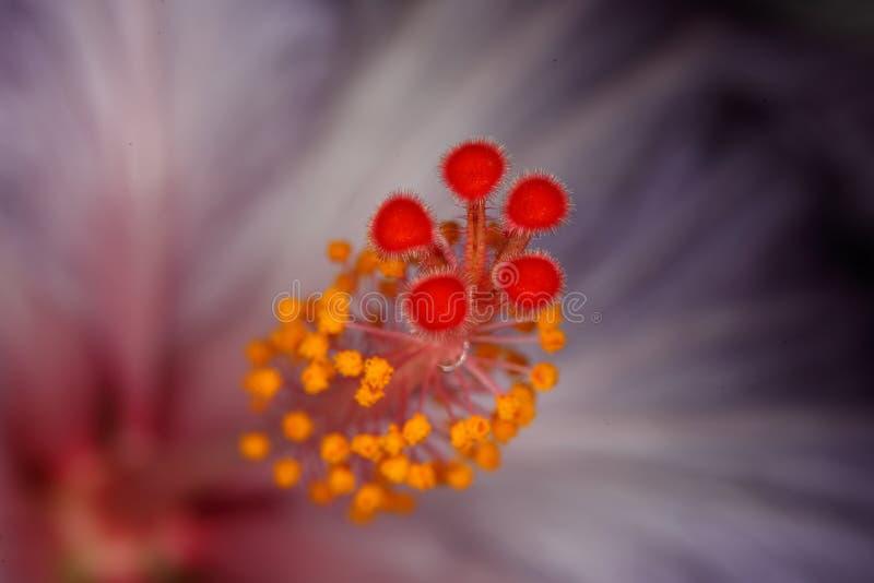 Pistil цветка стоковая фотография