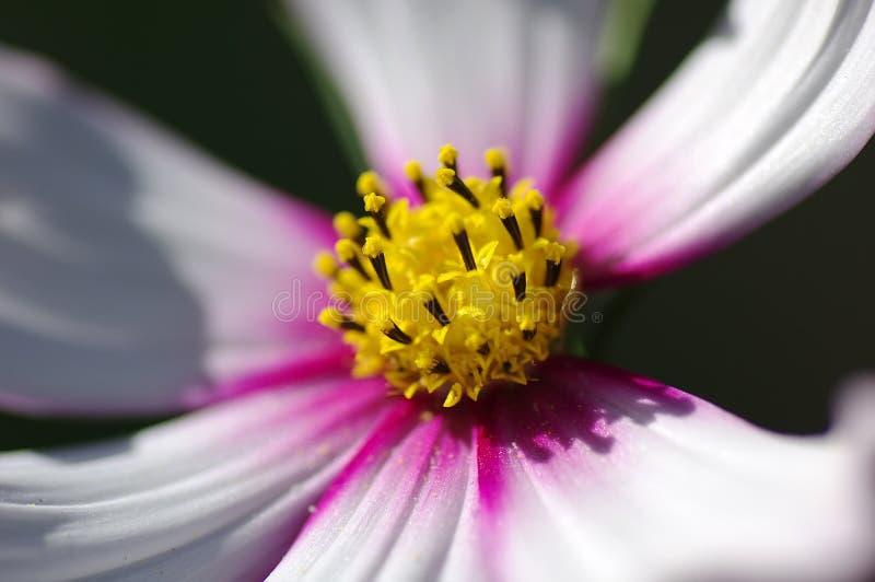 The pistil of galsang flower. The pistil of white galsang flower stock photography