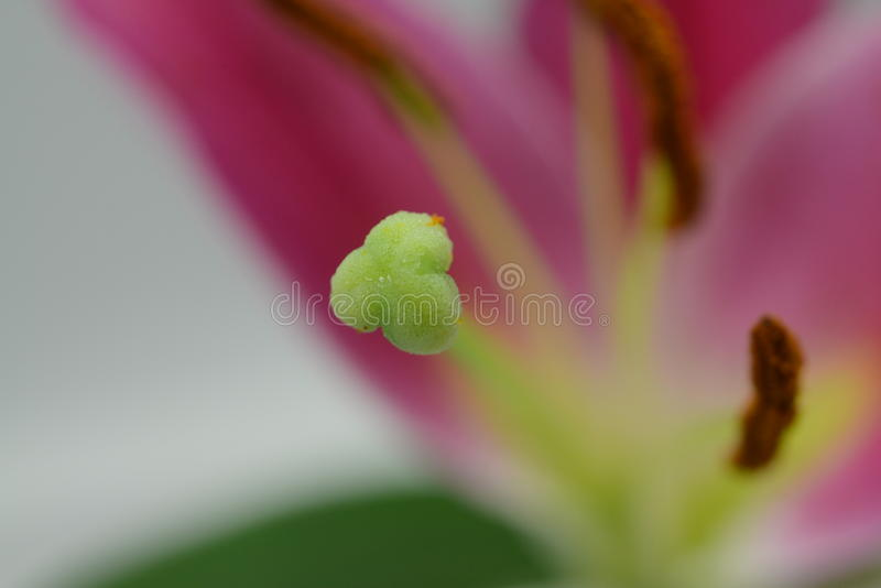 Pistil. Gynoecium is most commonly used as a collective term for the structures of a flower that produce ovules and ultimately develop into the fruit and seeds royalty free stock images
