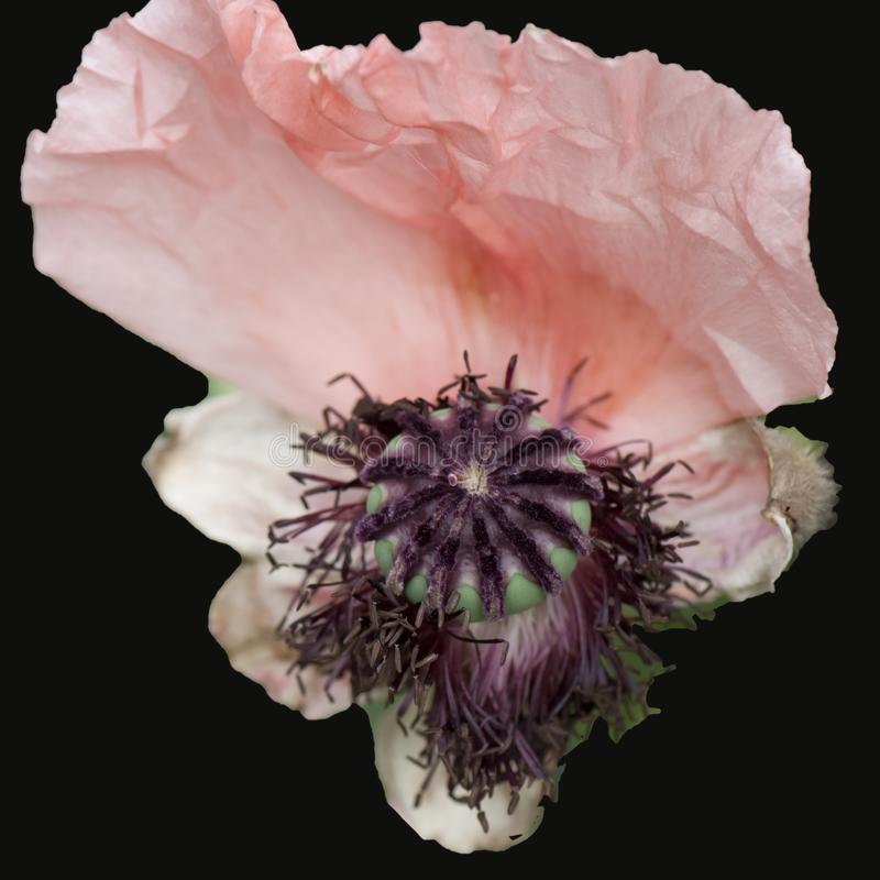 Pistil with seeds of a withering rose poppy flower - Papaver rhodeas. Macro shoot of withering rose garden poppy with only one petal and pistil royalty free stock image
