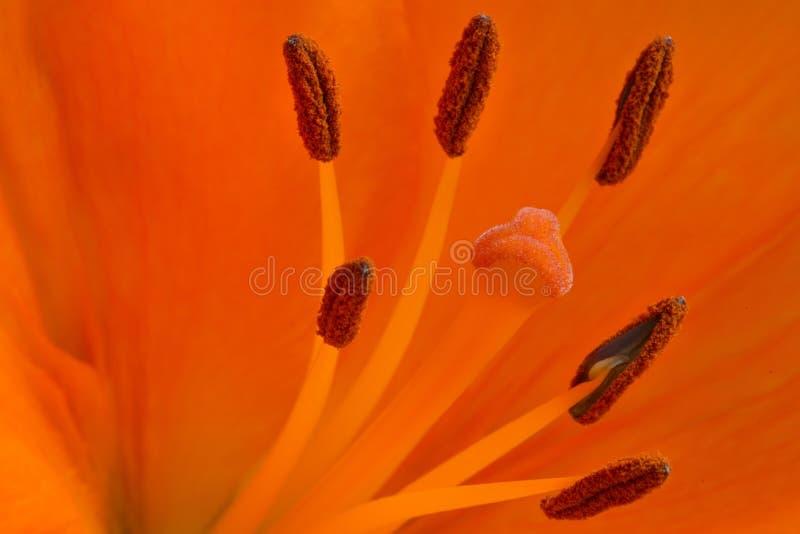 Pistil and stamens inside orange flower. Macro picture of pistil and stamens inside large orange flower stock image