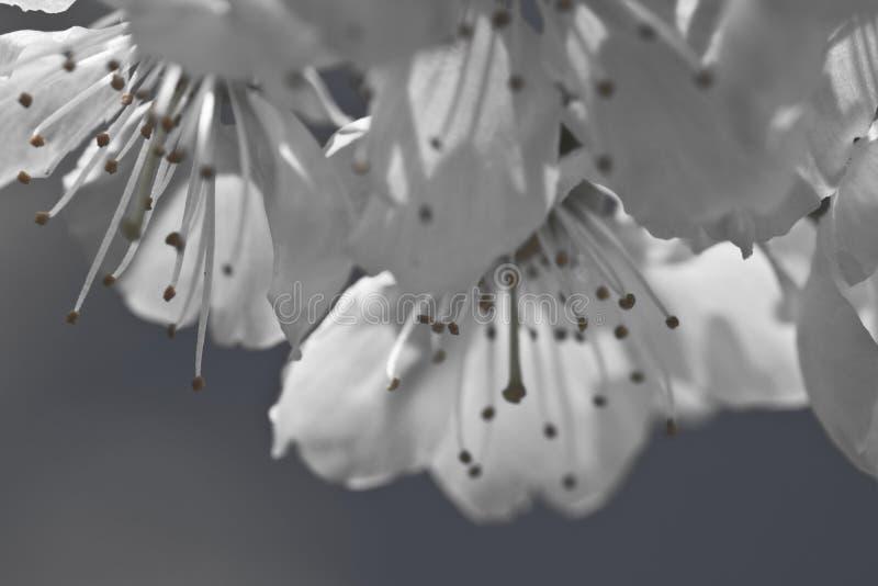 Pistils de pétales de cerisier de ressort avec les fleurs de floraison de blanc dans le motif noir et blanc photos libres de droits