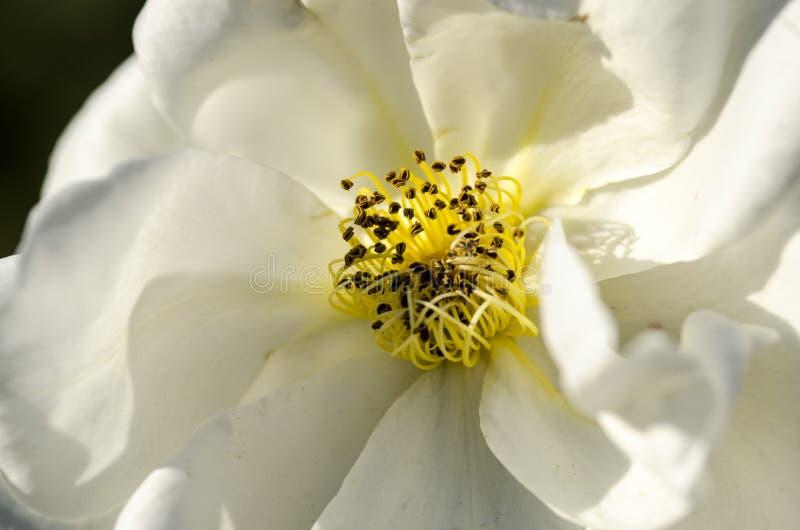 Pistils et étamine 2 de fleur photographie stock libre de droits