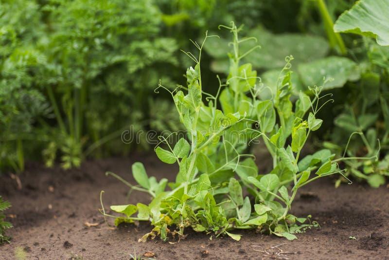 Pisum sativum, ervilha, ervilhas de jardim no jardim rebentos de ervilha Pod de ervilha no close-up do mato Alimentos vegetais fotografia de stock royalty free