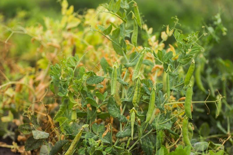 Pisum sativum, ervilha, ervilhas de jardim no jardim rebentos de ervilha Pod de ervilha no close-up do mato Alimentos vegetais imagens de stock