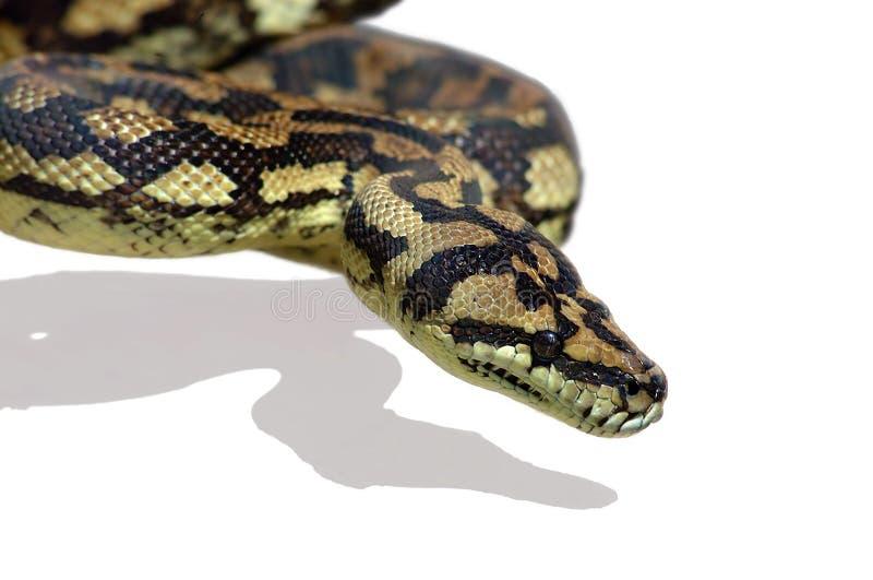Pitão da serpente imagem de stock royalty free