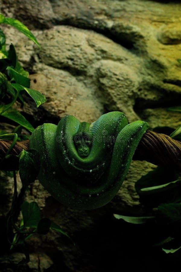 Pitão verde da árvore imagens de stock