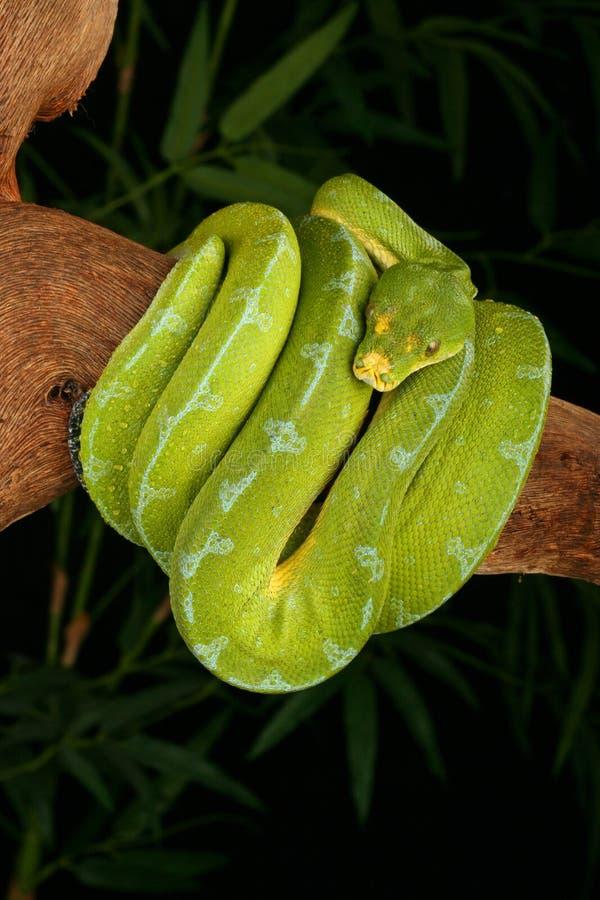 Pitão verde da árvore fotografia de stock royalty free