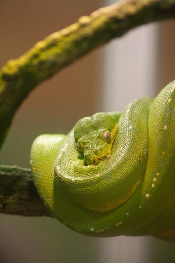 Pitão verde da árvore em Reid Park Zoo imagem de stock
