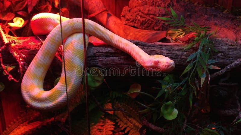 Pitón de la alfombra de darwin del albino imagen de archivo libre de regalías
