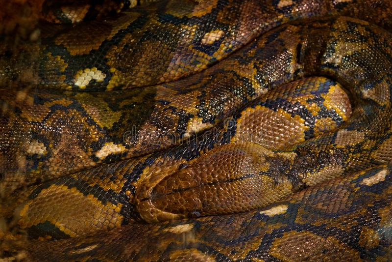 Pitón reticulado, reticulatus de Python, Asia sudoriental Las serpientes más largas del ` s del mundo, opinión del arte sobre la  imagenes de archivo