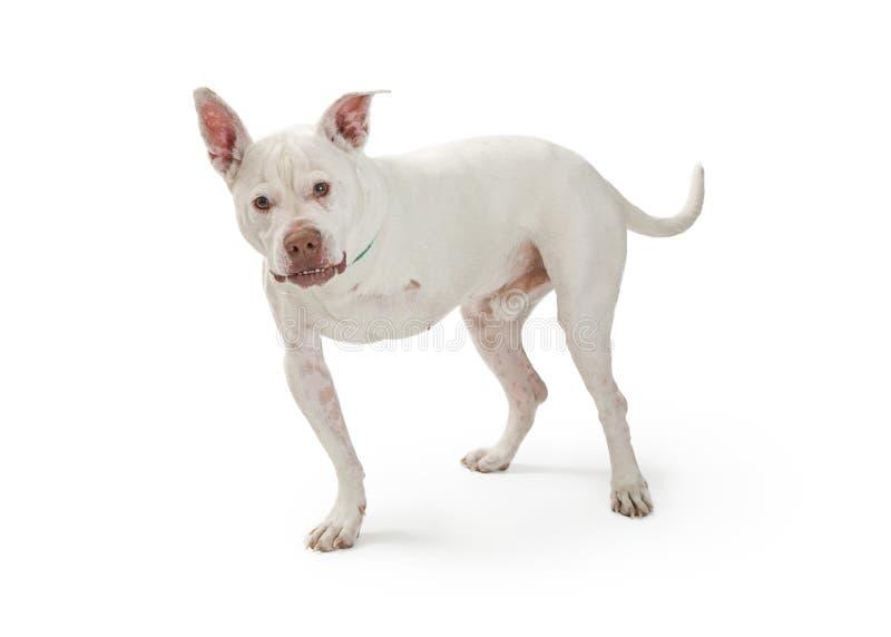 Large Dog With Amputated Leg stock photo