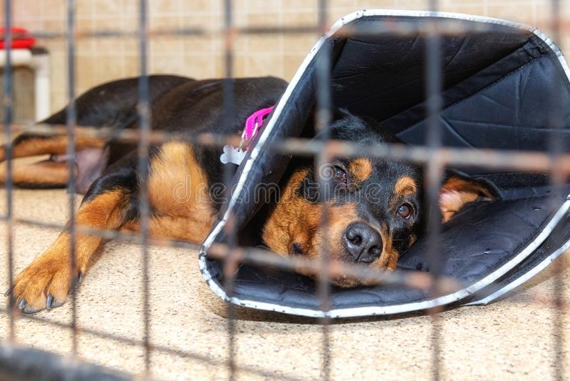 Pit Bull Dog In Kennel no abrigo imagens de stock