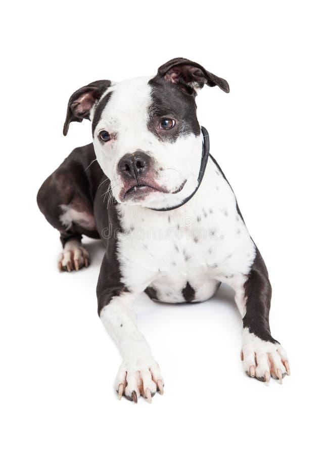 Pit Bull Dog Laying preto e branco foto de stock