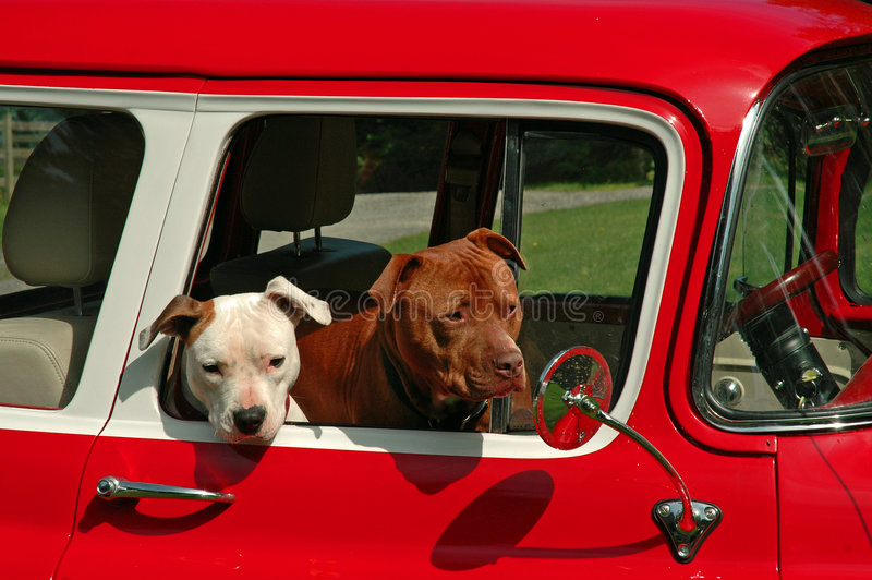 Pit Bull Dogs. Two Pit Bulls going for a ride in a red 1955 Chevy Pickup truck royalty free stock image